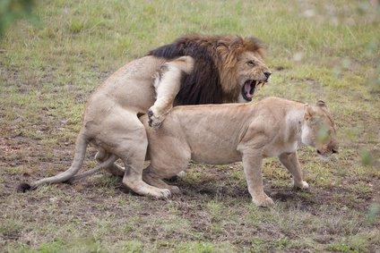 Copulating lions